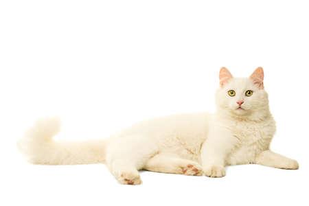 Beautiful white Turkish Angora cat isolated in white