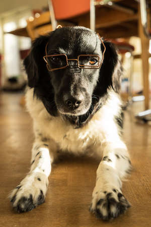 Funny Friesian Stabyhoun with glasses lying down indoors Stockfoto