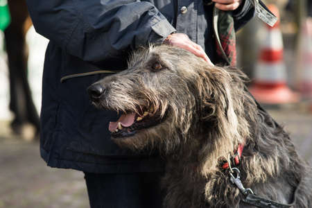 Portrait of an Irish wolfhound used for hunting with his boss Stock Photo