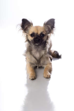 Cute little chihuahua long haired with butterfly ears isolated in white background Stock fotó