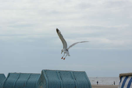 Seagull trying to land on a rattan beach chair on a cloudy day
