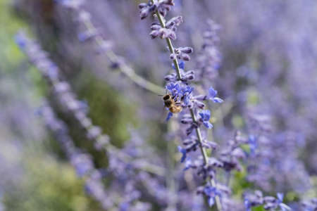 a Worker bee collecting honey and pollen on the lilac or violet flowers of a lavender plant in the summer in the sunlight