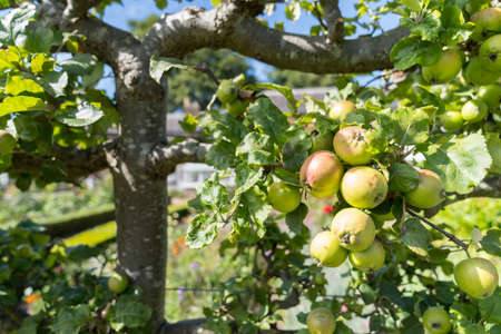 Ripe Apples hanging on branches in the tree in Orchard ready for harvesting, an afternoon shot Stock fotó - 155446911