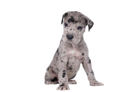 puppy of the Great Dane Dog or German Dog, the largest dog breed in the world, Harlequin fur, gray with black spots, sitting isolated in white
