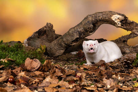 A White European mink or mink from a fur farm in an autumn forest landscape