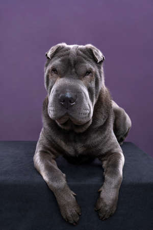 A lying gray Sharpei dog looking at the camera isolated on a purple background