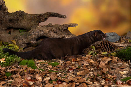 A brown European mink or mink from a fur farm in an autumn forest landscape