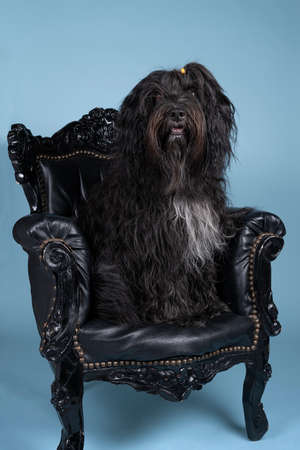A Schapendoes or Dutch Sheepdog sitting in a baroque chair against blue background