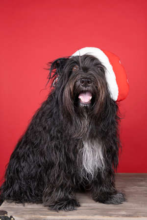 a Schapendoes or Dutch Sheepdog sitting in a red background wearing a christmas hat