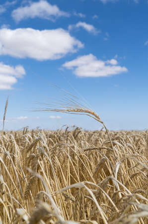 a Field of barley in a summer day. during harvesting period season, close up of the crops with the blue sky and clouds