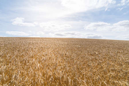 a Field of barley in a summer day. during harvesting period, a panoramic view of the crops with a ray of sunshine Фото со стока