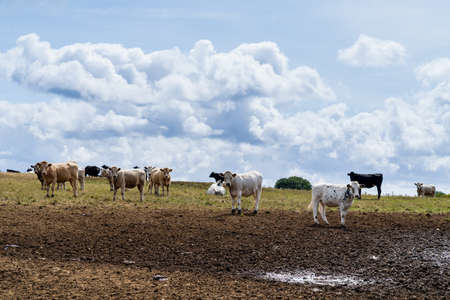 panorama of a landscape with a yellow grassland on a hill and a herd of cows against a cloud filled sky in the summer in Cornwall England UK
