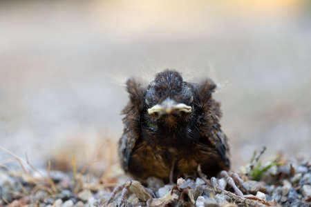 Close up of a young Blackbird (Turdus merula) after falling out of the nest