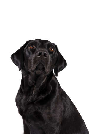 Portrait of the head of a female black labrador retriever dog isolated on a white background Stock Photo