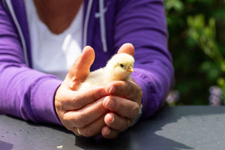 Yellow chick in hands of a woman wearing a purple vest and a white shirt on a gray table