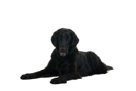 Portrait of a flat coated retriever lying down isolated on a white background