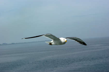 a Large seagull (Larus argentatus) flying in the sky above sea looking ath the camera sailing by with land in the distance
