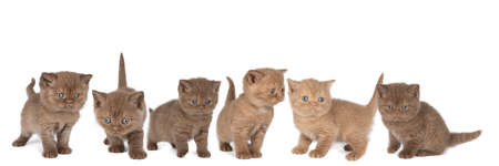 A Panorama of six little British Shorthair kittens in cinnamon and chocolate against white background Stock Photo