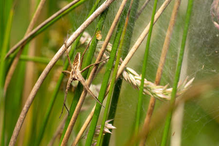 A nursery web spider sitting in her nest in the grass in the sunshine