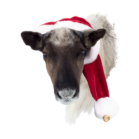 Female reindeer head with red and white santa claus hat isolated on a white background. Concept for christmas decoration.