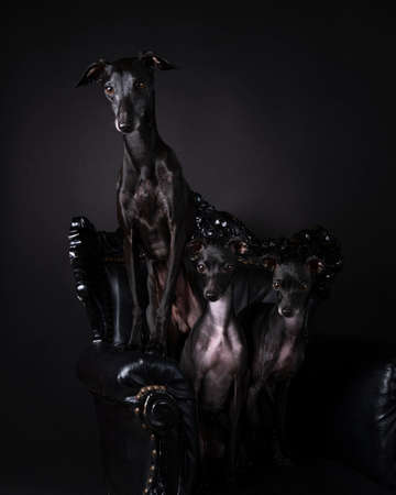 A Three Italian greyhound dogs sitting on a baroque chair against a black background Archivio Fotografico