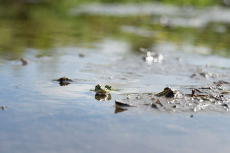 A Portrait of Common frog floating and swimming in between plants on the surface of a pond