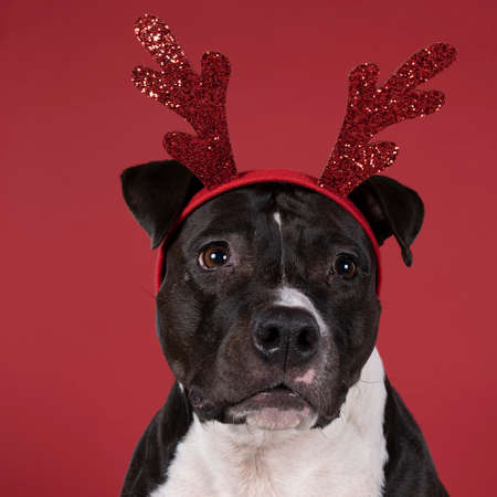 Portrait of brown American Staffordshire terrier sitting with a Rudolph the rednosed reindeer diadem against a red background.