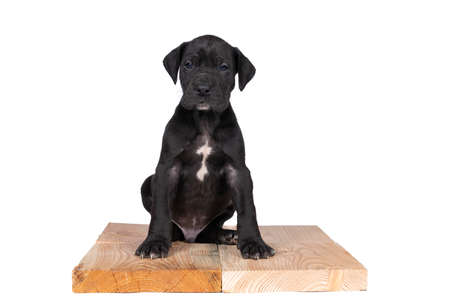 A puppy of the Great Dane or German Dog, largest dog breed in the world, Harlequin fur, white and black spots, sitting isolated in white Stock Photo