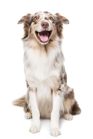 A Funny Australian Shepherd dog with a wide smile in white background Reklamní fotografie