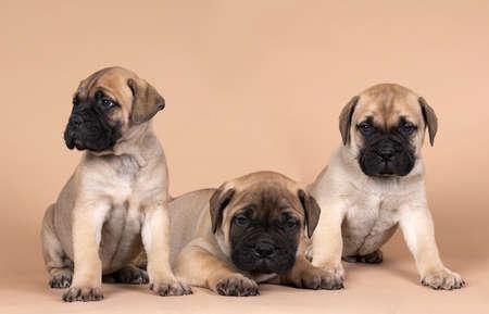 Three bull mastiff dog puppies isolated on a beige background Stockfoto