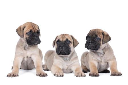 Three bull mastiff dog puppies isolated on a white background