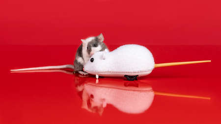 A gray and white real mouse meets a wind up toy mouse in a red setting with reflection and copy space