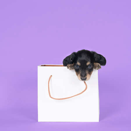 One bi-colored and blonde longhaired Dachshund dog pups in a shoppingbag isolated on a purple background Stockfoto