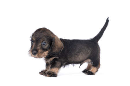 Closeup of a bi-colored wire-haired Dachshund dog puppy isolated on a white background Stockfoto