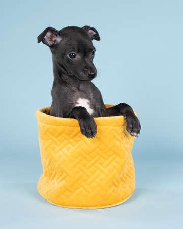 Black Italian greyhound puppy sitting in a yellow basket against a blue background