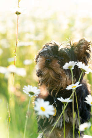 A Little Yorkshire Terrier puppy in a sunny field of daisy flowers
