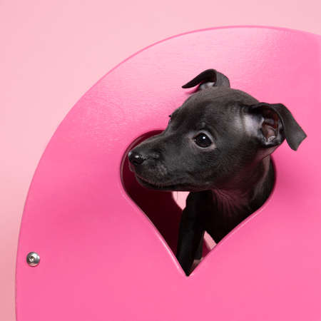 A black Italian greyhound puppy sitting in a pink heart scene symbol for love Stockfoto