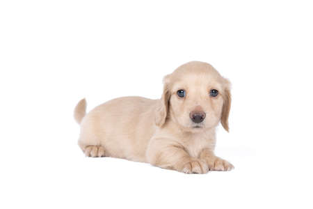 Closeup of a blonde longhaired wire-haired Dachshund dog isolated on a white background