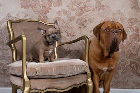 A Studio shot of a French bulldog puppy and a Bordeaux dog sitting on a chair looking at the camera