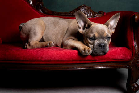 A Studio shot of an adorable French bulldog puppy lying on a red sofa in a stilllife setting Stockfoto