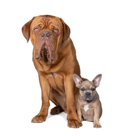 Studio shot of an adorable French bulldog puppy and a big Bordeaux dog sitting on isolated white background looking at the camera with copy space