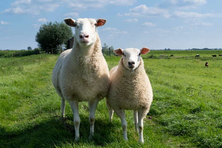 Cute little lamb and mother sheep ewe on a dike in fresh spring green meadow in the sun