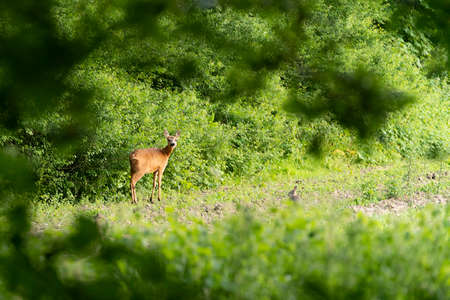 Young roe deer, capreolus capreolus, and a small rabbit standing and grazing in a meadow on the edge of a forest