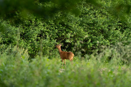 Young roe deer, capreolus capreolus, standing and grazing in a meadow on the edge of a forest Stockfoto