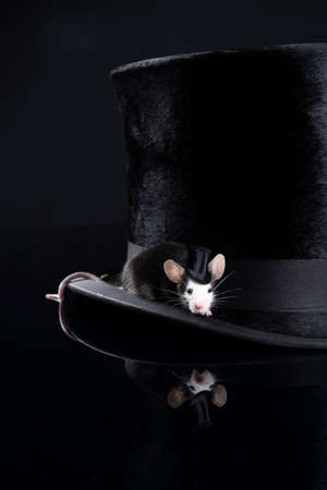 A Small black hereford mouse sitting on a stylish black top hat wearing a hat itself with copy space