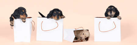 Four bi-colored and blonde longhaired Dachshund dog pups in a shoppingbag isolated on a beige background