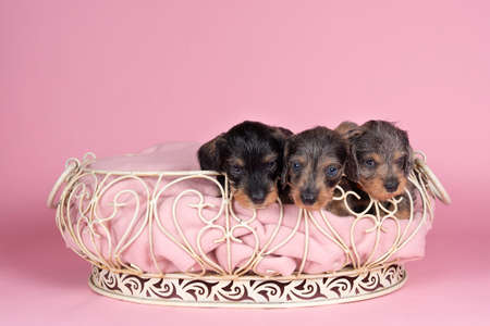A litter of bi-colored longhaired wire-haired Dachshund puppies in a basket on a pink background