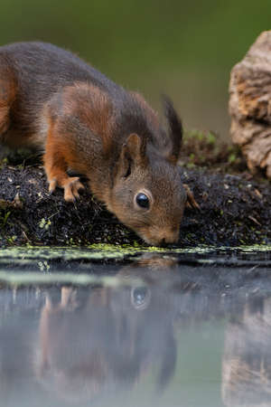 An Erasian Red Squirrel - Sciurus vulgaris - in a forest eating and drinking Stockfoto