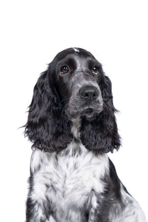 Full body portrait of a cute English cocker spaniel sitting looking at the camera isolated on white background Stockfoto