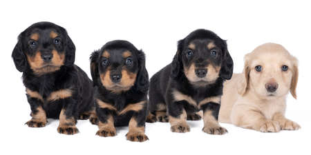 A Closeup of four bi-colored longhaired wire-haired Dachshund dog puppies isolated on a white background